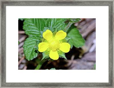Mock Strawberry (duchesnea Indica) Flower Framed Print