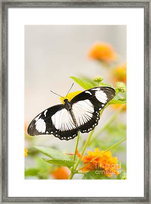 Mocker Swallowtail Framed Print by Anne Gilbert