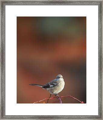 Mocking Bird Morning Framed Print by Bill Wakeley
