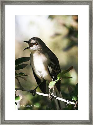 Mocking Bird With Ripe Hackberry Framed Print
