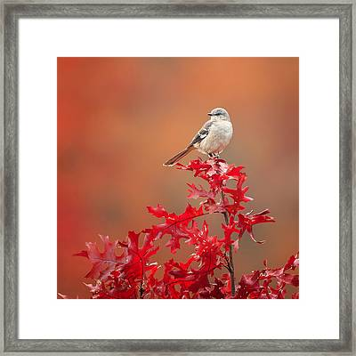 Mockingbird Autumn Square Framed Print by Bill Wakeley