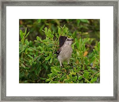 Mockingbird In Tree Framed Print