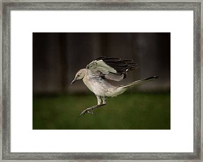 Mockingbird No. 2 Framed Print by Rick Barnard