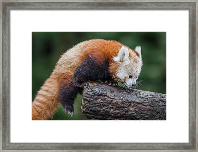 Mohu Learns To Climb Framed Print by Greg Nyquist