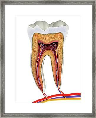 Molar Tooth Cross-section Framed Print