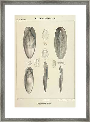 Molluscs Framed Print by British Library