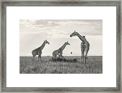 Mom And Twin Giraffes Framed Print by June Jacobsen