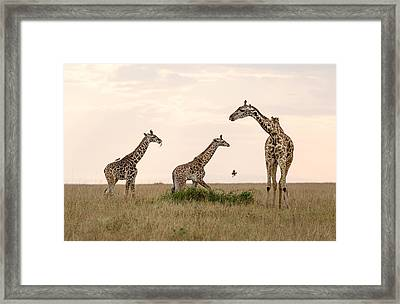 Mom Giraffe And Twins In Color Framed Print by June Jacobsen