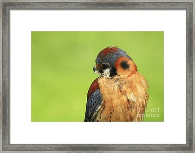 Moments Of Beauty American Kestrel Falcon  Framed Print by Inspired Nature Photography Fine Art Photography