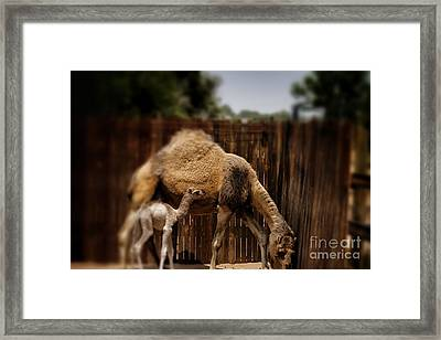 Momma And Baby Camel Framed Print