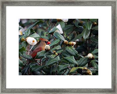Momma Cardinal Framed Print by Skip Willits