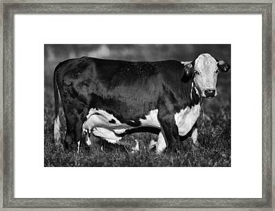 Momma Cow Framed Print by Patrick M Lynch