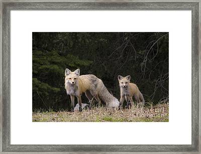 Momma Fox With Her Kit Framed Print