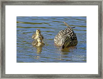 Momma Mallard And Her Ducklings Framed Print by Sharon Talson