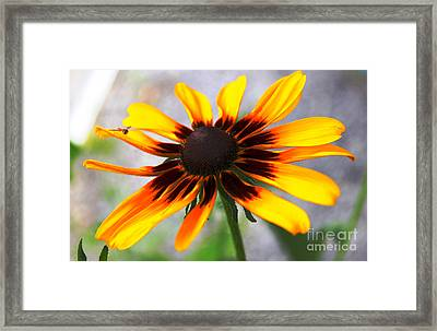 Mom's Black Eyed Susan Framed Print by Judy Palkimas