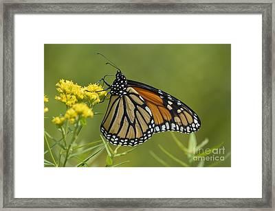 Monarch 2014 Framed Print by Randy Bodkins