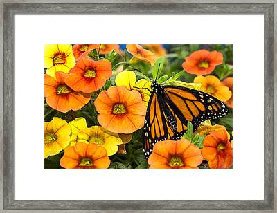 Monarch Among The Flowers Framed Print by Garry Gay