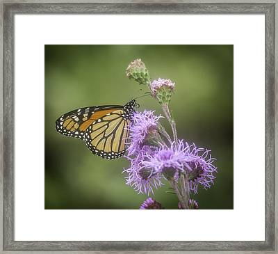 Monarch And My Blazing Star Framed Print by Thomas Young