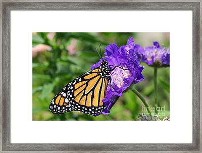 Monarch And Pincushion Flower Framed Print
