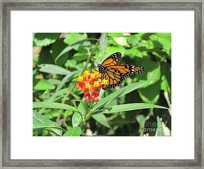 Monarch At Rest Framed Print