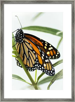 Monarch Beauty Framed Print by Carolyn Marshall