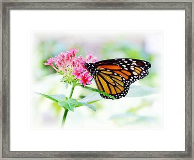 Monarch Beauty Framed Print by Jim  Darnall