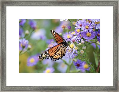 Monarch Butterfly 3 Framed Print
