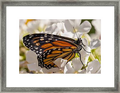 Monarch Butterfly Framed Print