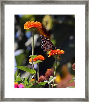 Monarch Butterfly And Orange Zinnias Framed Print by Kay Novy