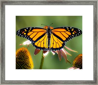 Monarch Butterfly Framed Print by Bob Orsillo