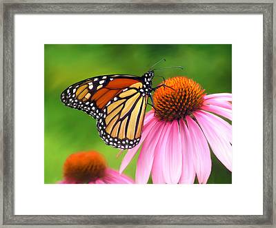Monarch Butterfly Framed Print by Christina Rollo