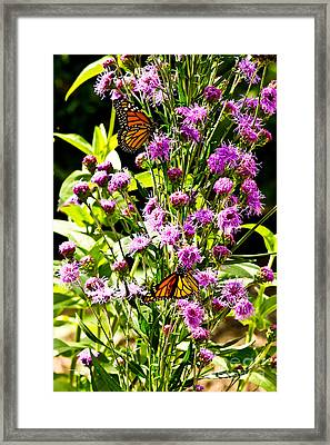 Monarch Butterfly Couple Framed Print