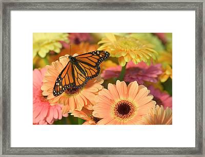 Monarch Butterfly, Danaus Plexippus Framed Print by Darrell Gulin