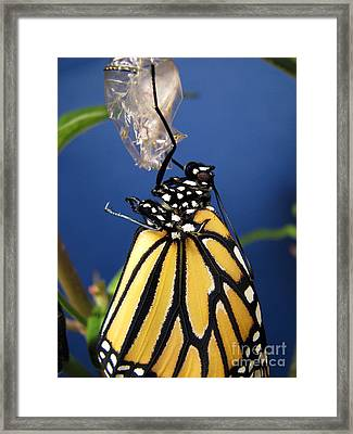 Monarch Butterfly Emerging From Chrysalis Framed Print by Inspired Nature Photography Fine Art Photography