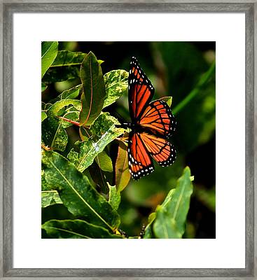 Viceroy Butterfly II Framed Print