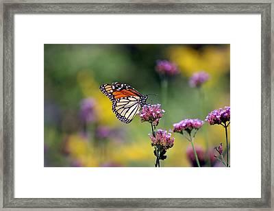 Monarch Butterfly In Field On Verbena Framed Print by Karen Adams