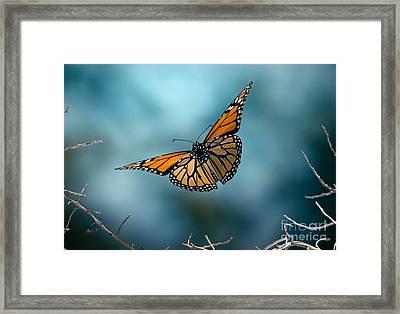 Monarch Butterfly In Flight Framed Print by Stephen Dalton