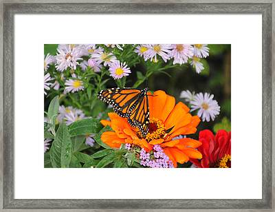 Monarch Butterfly Framed Print by Katie Wing Vigil