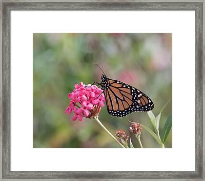 Monarch Butterfly Framed Print by Kim Hojnacki
