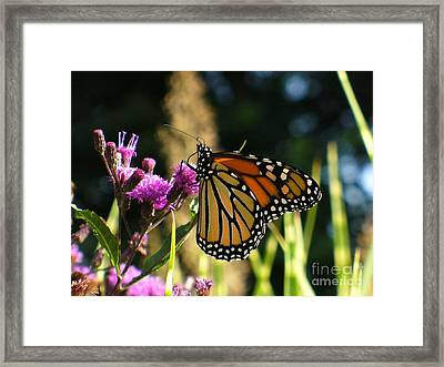 Framed Print featuring the photograph Monarch Butterfly by Lingfai Leung