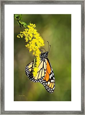 Monarch Butterfly On Goldenrod Framed Print