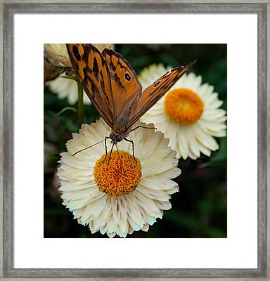 Monarch Butterfly On Paper Daisy Framed Print by Patrick OConnell