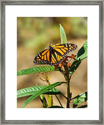 Monarch Butterfly On Plant With Eggs Framed Print by Anthony Mercieca