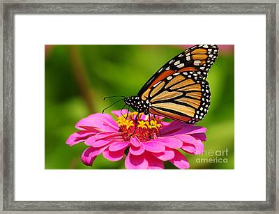 Framed Print featuring the photograph Monarch Butterfly On Zinnia by Olivia Hardwicke