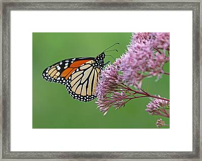 Monarch Butterfly Photography Framed Print by Juergen Roth