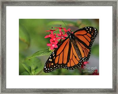 Monarch Butterfly Framed Print by Sabrina L Ryan