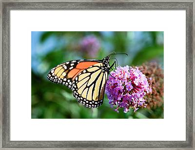 Monarch Butterfly Soaking Up The Sun Framed Print