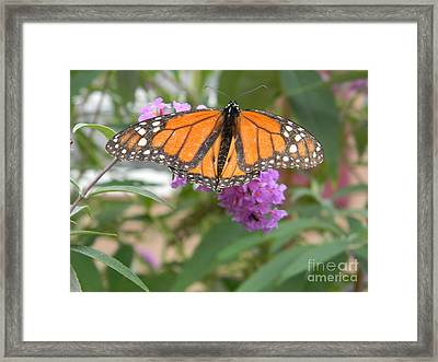 Monarch Butterfly Suckling A Flower Framed Print