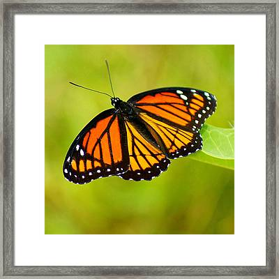 Monarch Framed Print by Carol Toepke