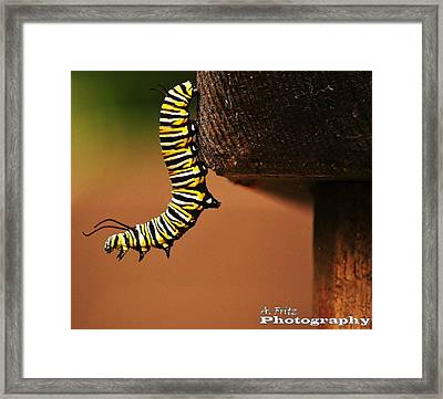 Monarch Caterpiller Framed Print